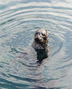 Grey seal swimming with head out of water Royalty Free Stock Images