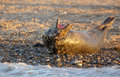 Grey seal yawning in the sunset light of norfolk blakeney Stock Image
