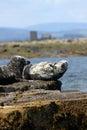 Grey seals Royalty-vrije Stock Afbeeldingen