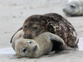 Grey Seals (Halichoerus grypus) Royalty Free Stock Photo