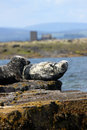 Grey seals on rocks onthe farne islands nature reserve off the coast of northumberland england st cuthbert s chapel and buildings Royalty Free Stock Images