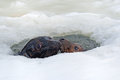 Grey seals two halichoerus grypus emerge from ice hole Royalty Free Stock Photo
