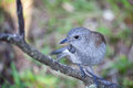 Grey shrike thrush oiseau simple sur une branche Photographie stock