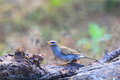 Grey-sided Thrush Royalty Free Stock Images