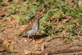Grey sided thrush in thailand the forest of Stock Images