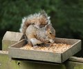 Grey Squirrel. Stockbild