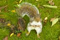 Grey squirrel in autumn the park london Stock Images