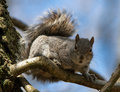 Grey Squirrel on Branch Stock Photo