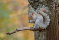 Grey squirrel central park new york eating acorn in autumn in Royalty Free Stock Photo