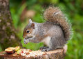 Grey Squirrel eating Stock Image