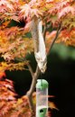 Grey Squirrel eating from a bird feeder on a Japanese Maple tree Royalty Free Stock Photo