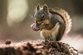 Grey Squirrel Eating a Pine Cone Royalty Free Stock Photo