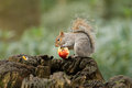 Grey squirrel eating a red apple with bushy tail Royalty Free Stock Photo