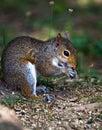 Grey squirrel eating seeds Royalty Free Stock Image