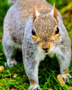 Grey squirrel en parc Photo stock
