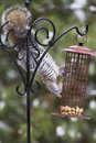 Grey Squirrel at Feeder Royalty Free Stock Photo