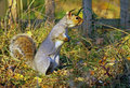Grey Squirrel foraging for food Stock Photography