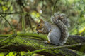 Picture : Grey Squirrel   drinking