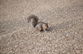 Grey squirrel hyde park london cute feeding Royalty Free Stock Photography