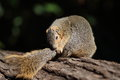 Grey squirrel on a log rests and inspects hi s tail Royalty Free Stock Photo