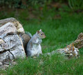 Grey Squirrel on logs Stock Photography