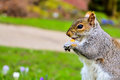 Grey squirrel mangeant l écrou en parc Photographie stock