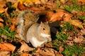 Jeseň hody šedá veverička chrumkavé zlatý listy