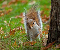 Grey squirrel peeping Arkivfoto