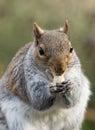 Grey Squirrel Royalty Free Stock Photo