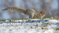 Grey squirrel running in snow Royalty Free Stock Images