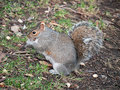 Grey squirrel Sciurus carolinensis natural habitat Stock Images