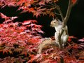 Grey Squirrel sitting on a colorful Japanese Maple tree Royalty Free Stock Photo