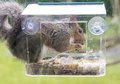 Grey squirrel stealing foodform a window bird feeder Royalty Free Stock Photo