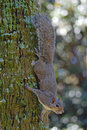 Grey squirrel on tree Royalty Free Stock Photo