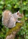 Grey Squirrel on tree stump Royalty Free Stock Photo