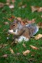 Grey Squirrel in the wildlife Royalty Free Stock Image