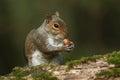 Grey Squirrel  (Sciurus carolinensis) eating an acorn. Royalty Free Stock Photo