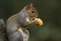 Grey Squirrel  (Sciurus carolinensis) eating a corn on the cob. Royalty Free Stock Photo