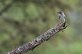 Grey-streaked Flycatcher on branch of larches Royalty Free Stock Photo