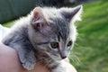 grey striped baby kitten Royalty Free Stock Photo