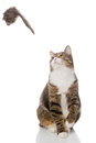 Grey tabby cat playing with a toy on white background Royalty Free Stock Image
