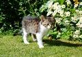 Grey tabby kitten in the garden.