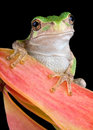 Grey tree frog on seed pod Stock Photography