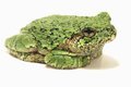 Grey Tree Frog on White Background Royalty Free Stock Photo