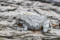 Grey Treefrog Royalty Free Stock Photo