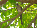Grey Treepie Stock Photography