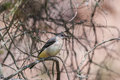 Grey wagtail fledgeling on a tree Royalty Free Stock Photo