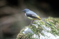 Grey wagtail motacilla cinerea single male on rock uk Royalty Free Stock Images