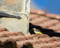 Grey wagtail motacilla cinerea walks roof house looking some insects Royalty Free Stock Photos