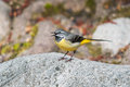 Grey wagtail on a rock singing Royalty Free Stock Photo